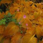 Die einzelne rosa Blüte im gelben Laub ist fantastisch - Foto von Susanne Haun