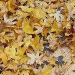 Ein Teppich von gelben Laub - Foto von Susanne Haun