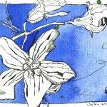 Passionsblumen (c) Zeichnung von Susanne Haun