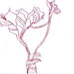Geschnittene Rosen Teil 3 17 x 22 cm (c) Zeichnung von Susanne Haun