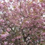 Bühender Mandelbaum (c) Foto von Susanne Haun