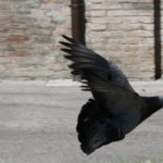 Taube im Landeanflug vor dem Museum (c) Foto von Susanne Haun
