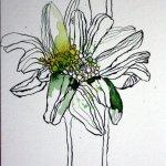 Gänseblümchen 17 x 22 cm Tusche auf Bütten (c) Zeichnung von Susanne Haun