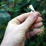 Die Blüten des Strauches (c) Foto von Susanne Haun
