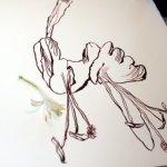 Ich vergrössere die Blüte (c) Foto und Zeichnung von Susanne Haun