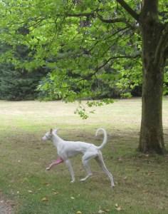 Er läuft über das Gelände, es ist ein sehr stolzes Tier