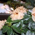 Erfrorene Azalee mit Weihnachtslichter (c) Foto von Susanne Haun
