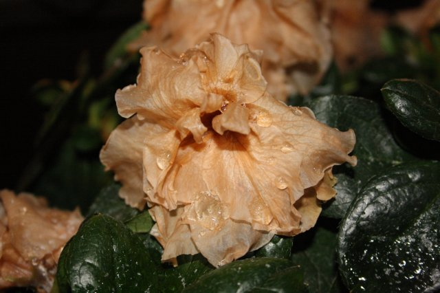 Erfrorene Azalee (c) Foto von Susanne Haun