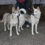Aus unserer Siedlung - zwei Huskies (c) Foto von Susanne Haun