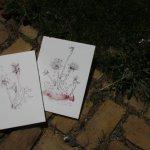 Beide Versionen Löwenzahn (c) Zeichnung von Susanne Haun