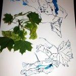 Entstehung Ahornzweig (c) Zeichnung von Susanne Haun