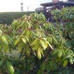 Rhododendren (c) Foto von Susanne Haun