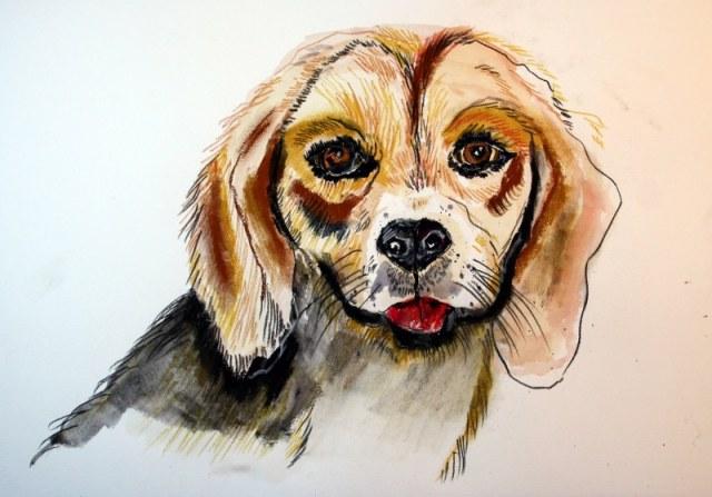 Beagle (c) Zeichnung von Susanne Haun