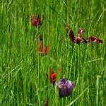 Verblühte Tulpen (c) Foto von M.Fanke