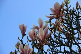 Magnolien im Kew Garden (c) Foto von Susanne Haun