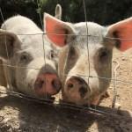 Schweine auf dem Weg zur Grotta Die San Teodoro (c) Foto von Susanne Haun