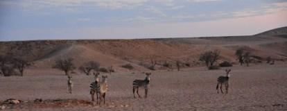 Am Morgen ziehn die Zebras wieder ihrer Wege (c) Foto von M.Fanke (2)