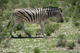 Zebra im Etosha Nationalpark (c) Foto von M.Fanke