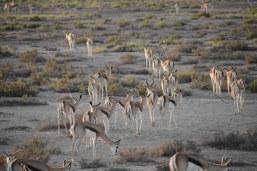Antilopen im Etosha Nationalpark (c) Foto von M.Fanke