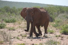 Elefant im Etosha Nationalpark (c) Foto von Susanne Haun