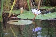 Okavango Delta Botswana - Lotus (c) Foto von Susanne Haun
