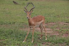 Auch im Chobe Park sind viele Antilopen zu sehen (c) Foto von Susanne Haun