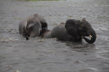 23 Elefanten beim Wasser im Chobe Nationalpark in Botswana (c) Foto von Susanne Haun