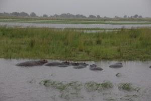 Die Hippos sind im grau der Landschaft nicht immer gut zu erkennen (c) Foto von Susanne Haun