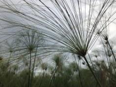 Okavango Delta Botswana - im Papyrus (c) Foto von Susanne Haun