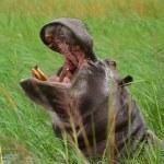 Das perfekte Foto von einem Flusspferd, der Hippo meint es gut mit uns (c) Foto von M.Fanke