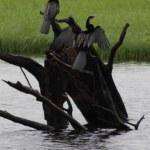 Kormorane sind auch in Afrika zuhause (c) Foto von M.Fanke