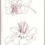 Tangetes (c) Zeichnung von Susanne Haun