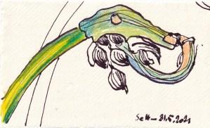 Tagebucheintrag 31.05.2021, Auch Schnittlauch Blüht, 20 x 15 cm, Tinte und Aquarell auf Silberburg Büttenpapier, Zeichnung von Susanne Haun (c) VG Bild-Kunst, Bonn 2021
