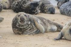 Seehunde in Horsey Seals (c) Foto von Susanne Haun
