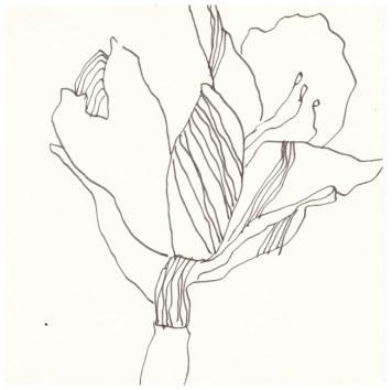 1 Amaryllis (c) Zeichnung von Susanne Haun