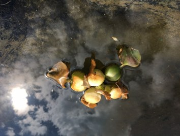 Eingegangene Wasserhyazinthe (c) Foto von Susanne Haun