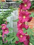 Hollyhocks-3