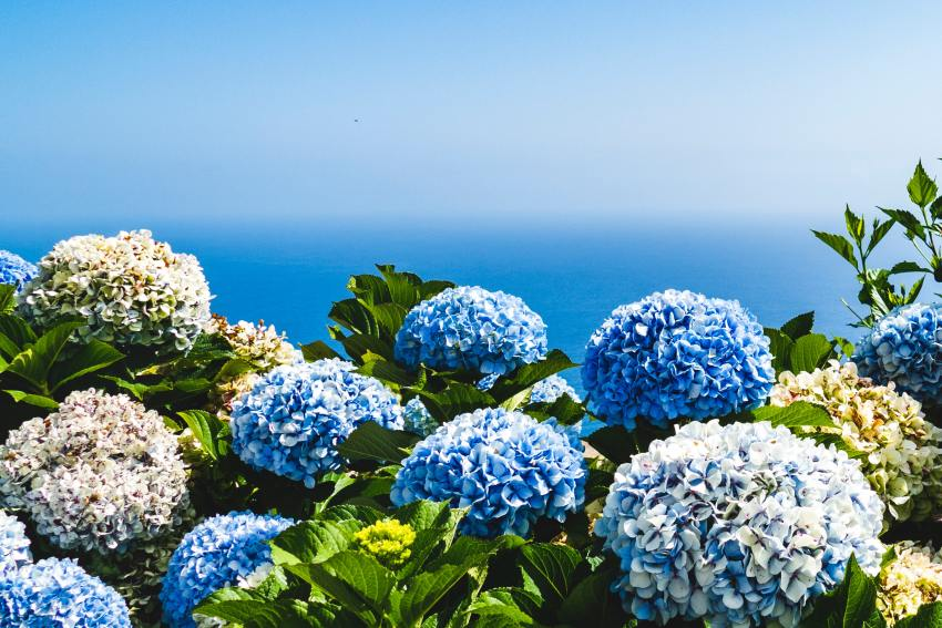 Turning a Hydrangea Blue Naturally