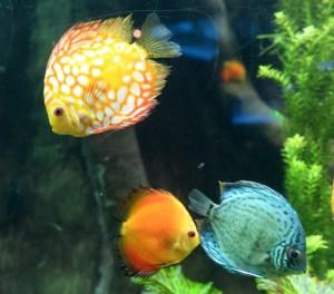 Sunfish at the Atlanta Aquarium