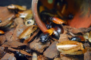 Hissing Roaches