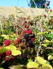 Waiting for blackberries to ripen