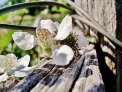 Blackberries growing on the fenceline