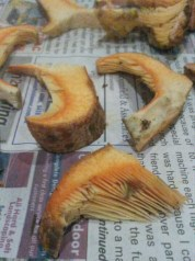 Saffron milk caps out to dry