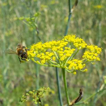 Bees love the fennel flowers