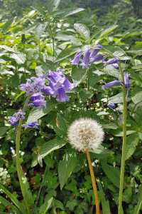 Bluebells and dandelion