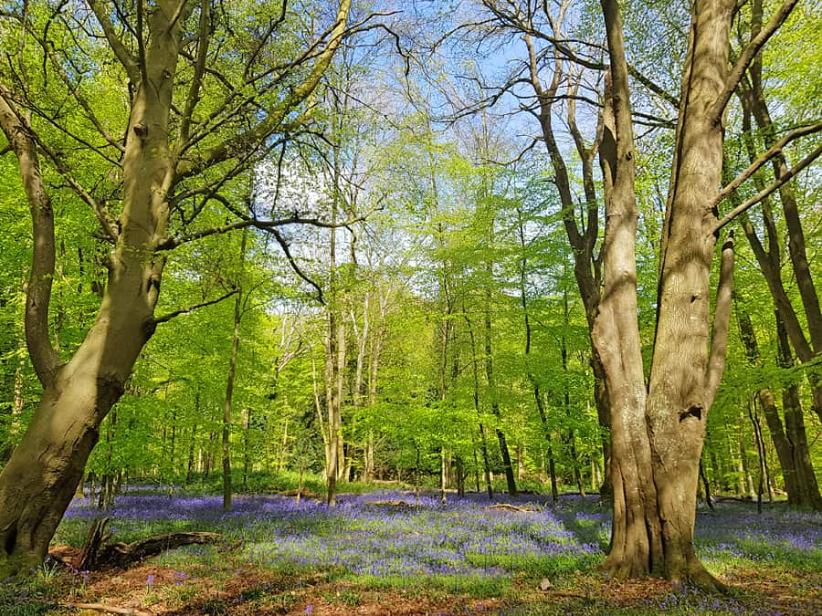 Bluebells in Puke Lane, Nore Wood, West Sussex