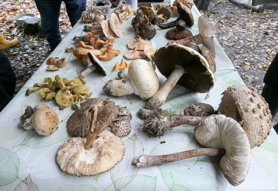 Table full of foraged fungi