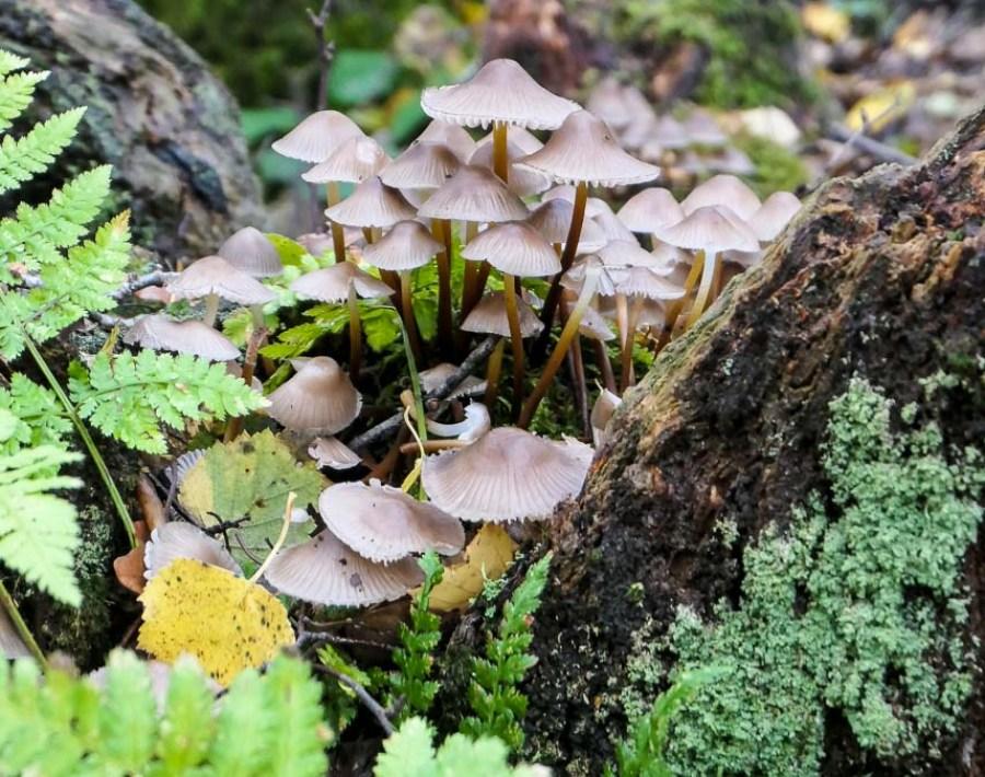 Honey fungus on tree stump