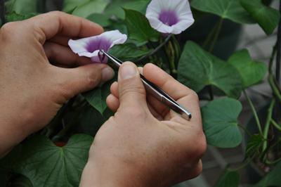 sweet potato flower being fertilized by hand