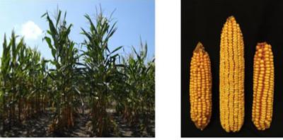 corn plants and corn cobs